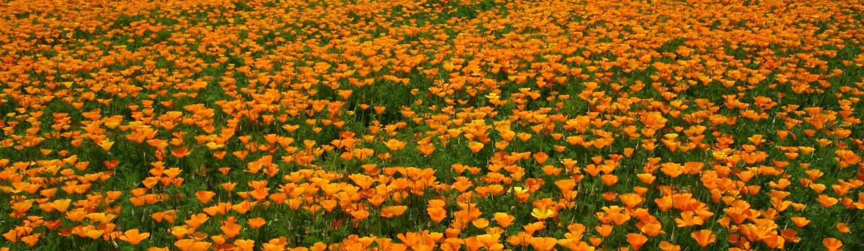 OrangePoppyField