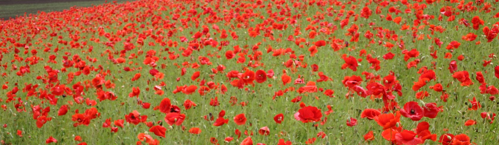 RedPoppyField