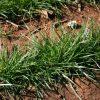 Ryegrass Perennial