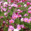 Cosmos Bipinnatus Sensation Mix