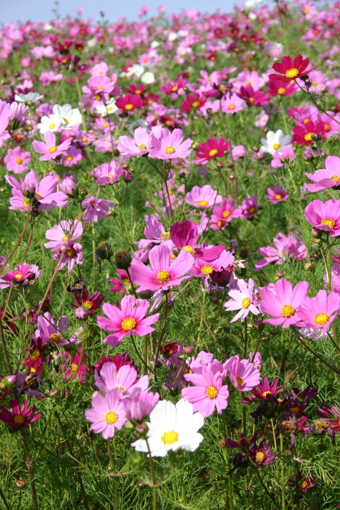 COSMOS Sensation Radiance - View All Flowers - Australian Seed