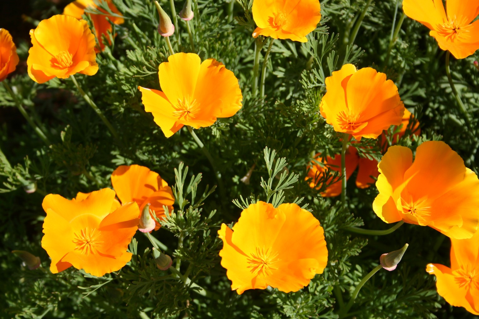 Poppy California Orange Oregon Wholesale Seed Company