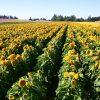 Sunflower Dwarf Sungold Teddy Bear