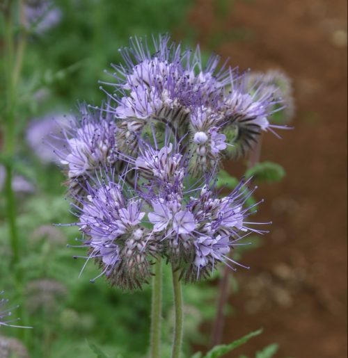 Phacelia Lacy Fiddleneck
