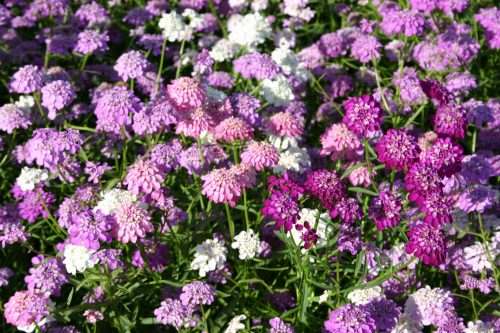 Candytuft Tall Mix