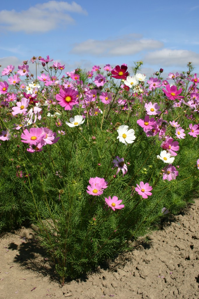 Copre 200 sq COSMOS fiori di semi ft CUSHY 1000 Cosmos Nano Sensation Mix